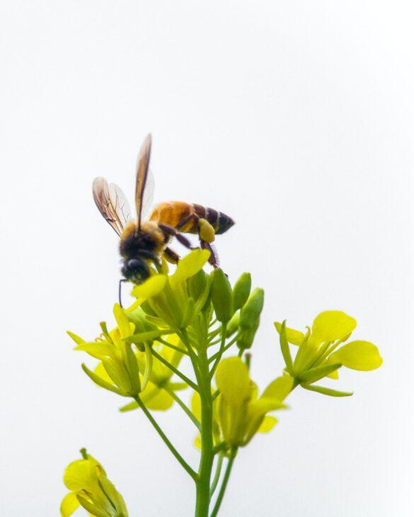 داستان عور و زنبور