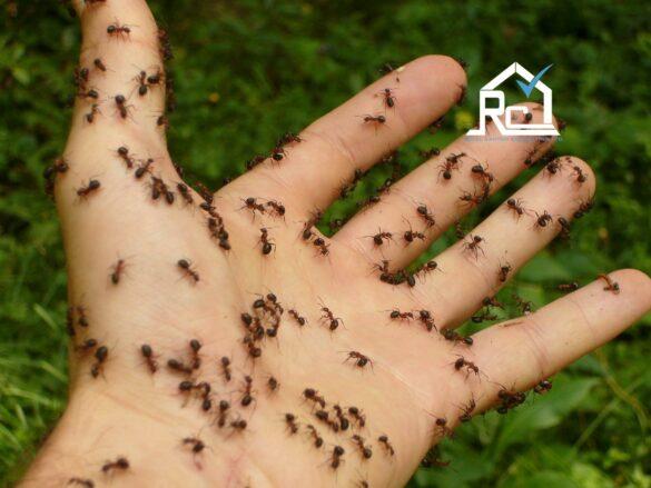 مورچه های نجار