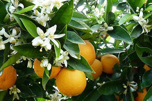 عروسی بهار نارنج