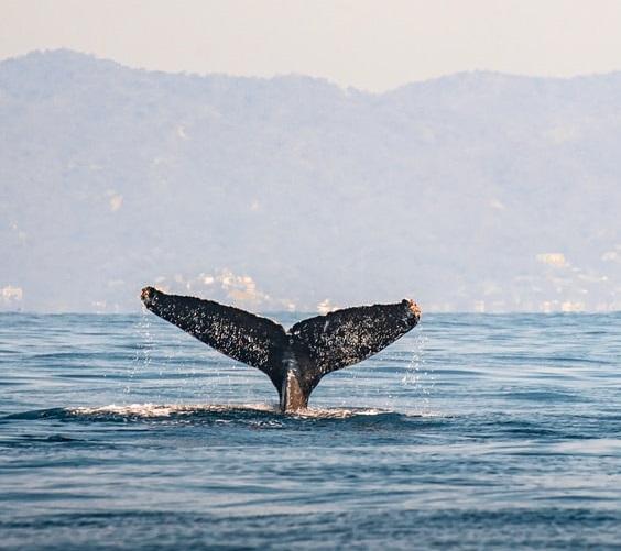 درمان کوید ۱۹ با نهنگ کوهاندار