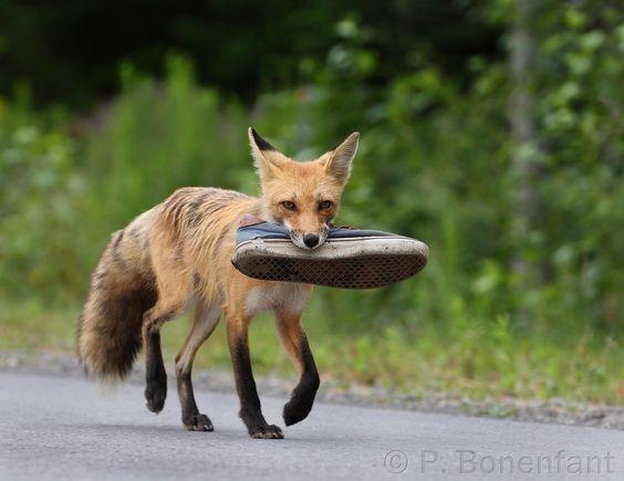 روباهی که به مد علاقه مند است