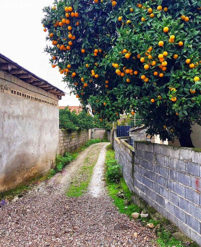 درخت نارنج و کوچه های شمال ایران