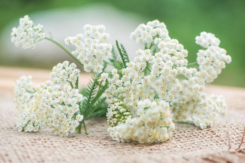 ساریگُل، گیاهی به قدمت افسانه تروا